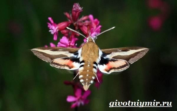 Бражник-бабочка-Образ-жизни-и-среда-обитания-бражника-3