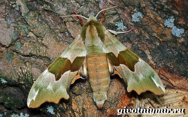 Бражник-бабочка-Образ-жизни-и-среда-обитания-бражника-4