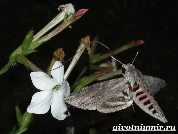 Бражник-бабочка-Образ-жизни-и-среда-обитания-бражника-5