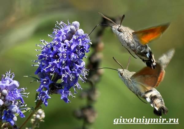 Бражник-бабочка-Образ-жизни-и-среда-обитания-бражника-6
