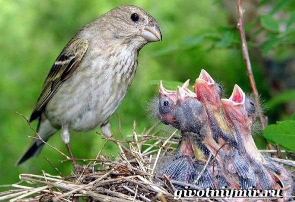 Чечевица-птица-Образ-жизни-и-среда-обитания-птицы-чечевицы-10