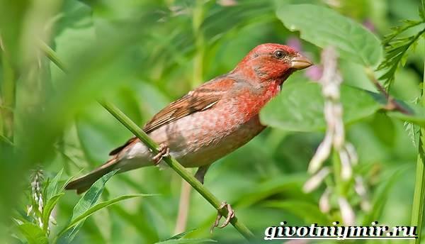 Чечевица-птица-Образ-жизни-и-среда-обитания-птицы-чечевицы-4