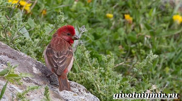 Чечевица-птица-Образ-жизни-и-среда-обитания-птицы-чечевицы-6