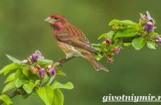 Чечевица птица. Образ жизни и среда обитания птицы чечевицы