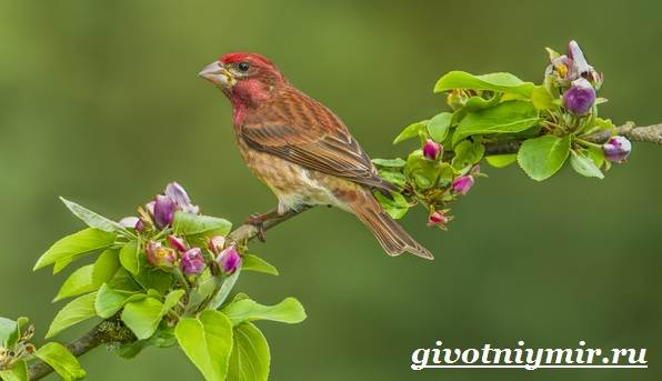 Чечевица-птица-Образ-жизни-и-среда-обитания-птицы-чечевицы-7