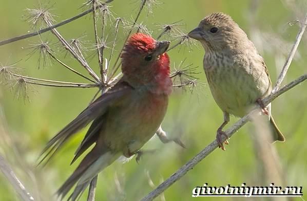 Чечевица-птица-Образ-жизни-и-среда-обитания-птицы-чечевицы-8