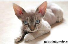 Девон рекс кошка. Описание, особенности, уход и цена кошки девон рекс
