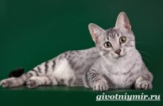 Египетская кошка мау. Особенности, образ жизни и уход за египетской кошкой мау