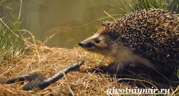 Еж-животное-Образ-жизни-и-среда-обитания-ежа-10