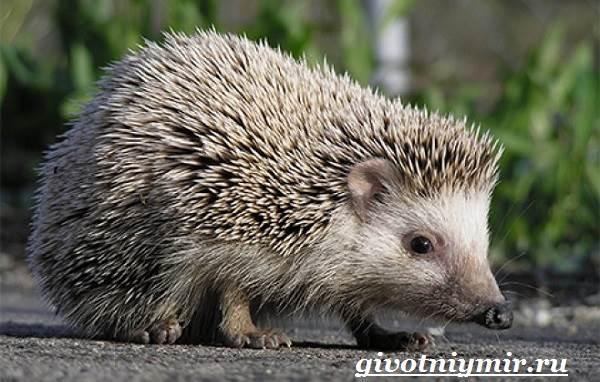 Еж-животное-Образ-жизни-и-среда-обитания-ежа-2