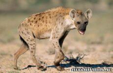 Гиена животное. Образ жизни и среда обитания гиены