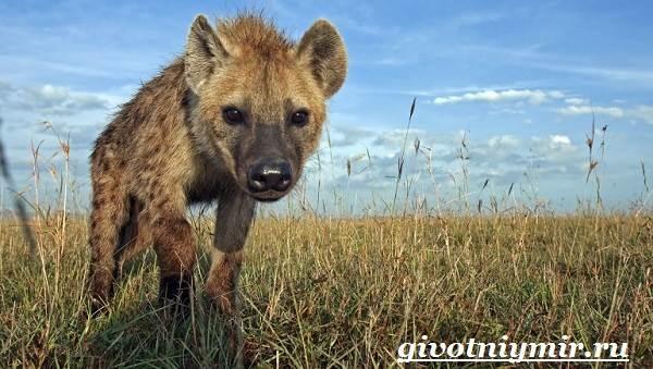 Гиена-животное-Образ-жизни-и-среда-обитания-гиены-2