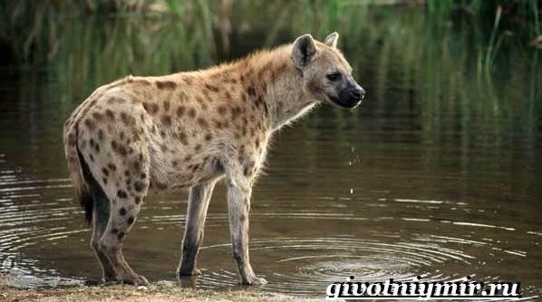 Гиена-животное-Образ-жизни-и-среда-обитания-гиены-3