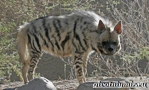 Гиена-животное-Образ-жизни-и-среда-обитания-гиены-4