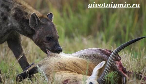 Гиена-животное-Образ-жизни-и-среда-обитания-гиены-5