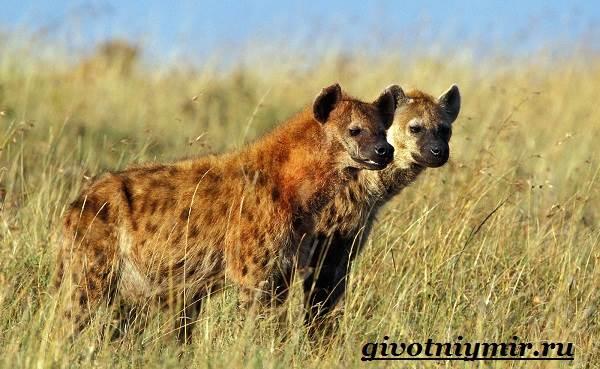 Гиена-животное-Образ-жизни-и-среда-обитания-гиены-6