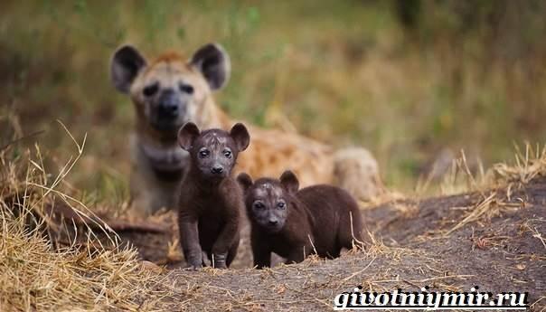 Гиена-животное-Образ-жизни-и-среда-обитания-гиены-7