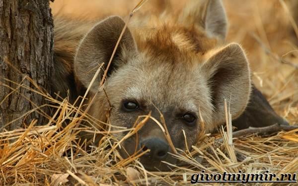 Гиена-животное-Образ-жизни-и-среда-обитания-гиены