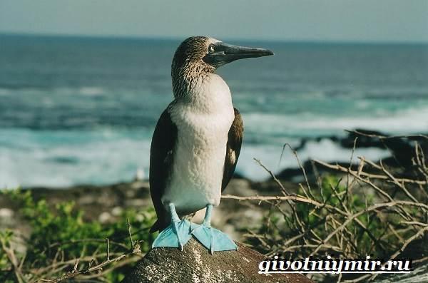 Голубоногая-олуша-птица-Образ-жизни-и-среда-обитания-голубоногой-олушы-2