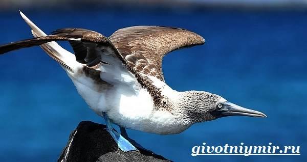 Голубоногая-олуша-птица-Образ-жизни-и-среда-обитания-голубоногой-олушы-3
