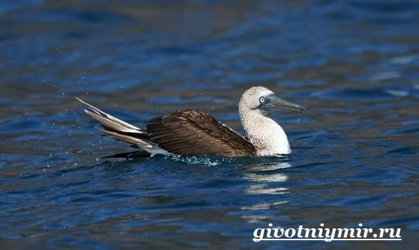 Голубоногая-олуша-птица-Образ-жизни-и-среда-обитания-голубоногой-олушы-4