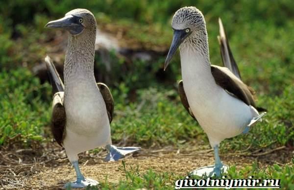 Голубоногая-олуша-птица-Образ-жизни-и-среда-обитания-голубоногой-олушы-5