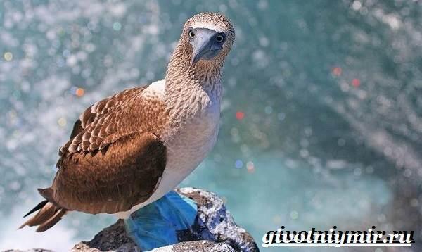 Голубоногая-олуша-птица-Образ-жизни-и-среда-обитания-голубоногой-олушы-6