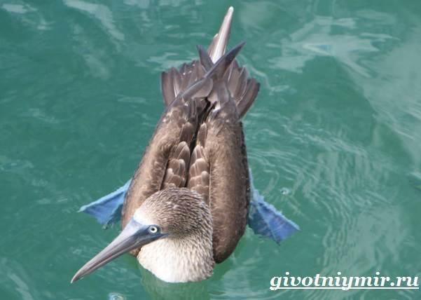 Голубоногая-олуша-птица-Образ-жизни-и-среда-обитания-голубоногой-олушы-7