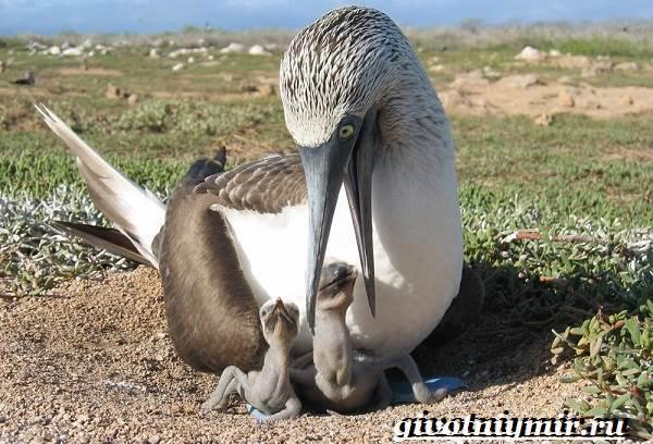 Голубоногая-олуша-птица-Образ-жизни-и-среда-обитания-голубоногой-олушы-8