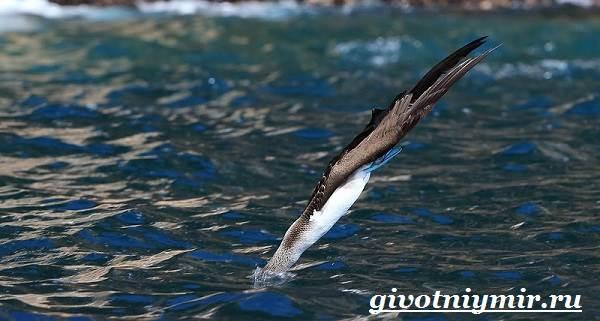 Голубоногая-олуша-птица-Образ-жизни-и-среда-обитания-голубоногой-олушы-9