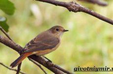 Горихвостка птица. Образ жизни и среда обитания птицы горихвостки