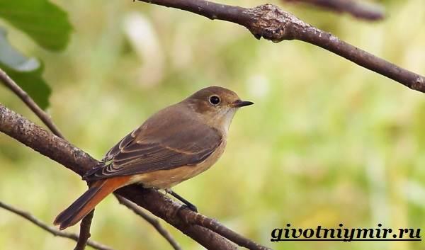 Горихвостка-птица-Образ-жизни-и-среда-обитания-птицы-горихвостки-1