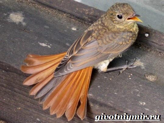 Горихвостка-птица-Образ-жизни-и-среда-обитания-птицы-горихвостки-10