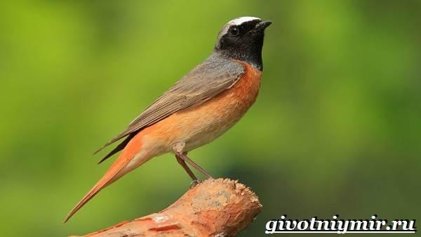 Горихвостка-птица-Образ-жизни-и-среда-обитания-птицы-горихвостки-2