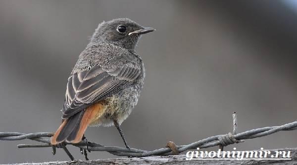Горихвостка-птица-Образ-жизни-и-среда-обитания-птицы-горихвостки-3