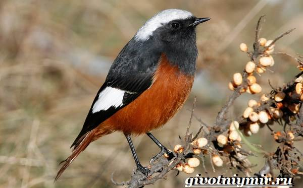 Горихвостка-птица-Образ-жизни-и-среда-обитания-птицы-горихвостки-4