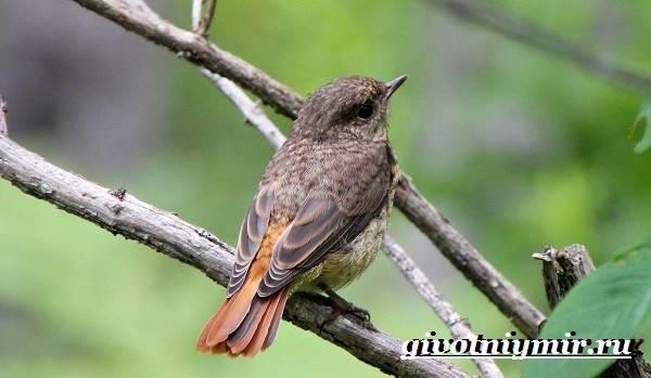 Горихвостка-птица-Образ-жизни-и-среда-обитания-птицы-горихвостки-5