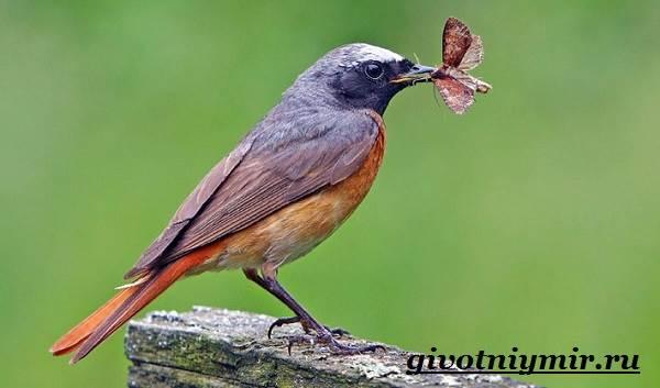 Горихвостка-птица-Образ-жизни-и-среда-обитания-птицы-горихвостки-6