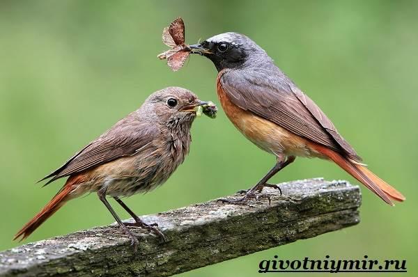 Горихвостка-птица-Образ-жизни-и-среда-обитания-птицы-горихвостки-7