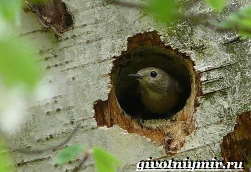 Горихвостка-птица-Образ-жизни-и-среда-обитания-птицы-горихвостки-8