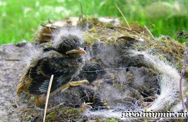 Горихвостка-птица-Образ-жизни-и-среда-обитания-птицы-горихвостки-9