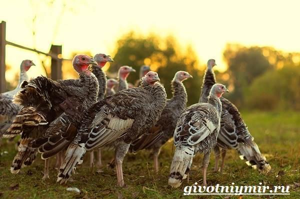 Индейка-птица-Особенности-образ-жизни-и-разведение-индейки-6