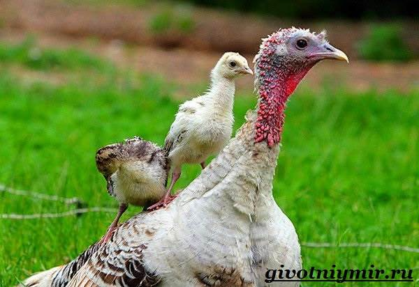 Индейка-птица-Особенности-образ-жизни-и-разведение-индейки-7