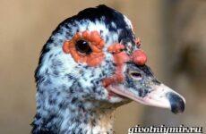 Индоутка птица. Образ жизни и среда обитания индоутки