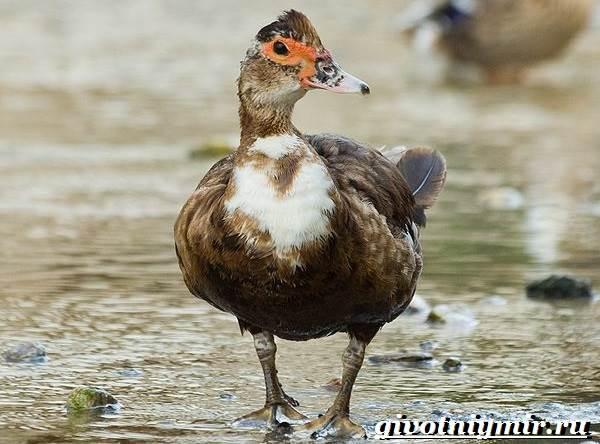 Индоутка-птица-Образ-жизни-и-среда-обитания-индоутки-6