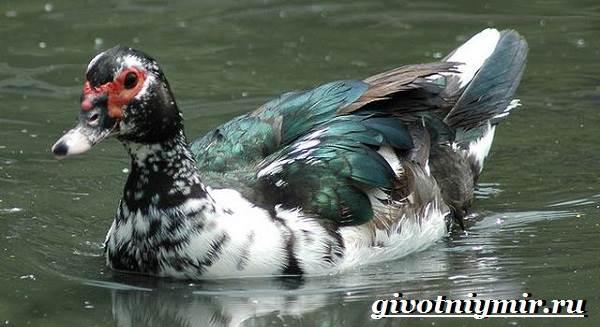 Индоутка-птица-Образ-жизни-и-среда-обитания-индоутки-7