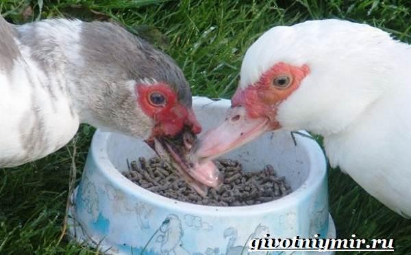 Индоутка-птица-Образ-жизни-и-среда-обитания-индоутки-9
