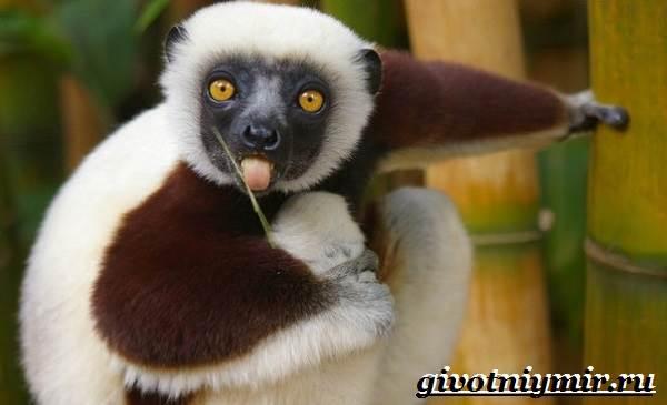 Индри-животное-Образ-жизни-и-среда-обитания-индри-1