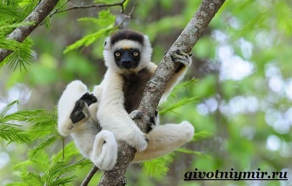 Индри-животное-Образ-жизни-и-среда-обитания-индри-2