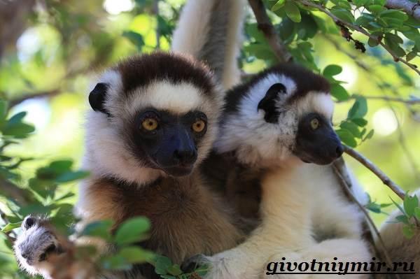 Индри-животное-Образ-жизни-и-среда-обитания-индри-3